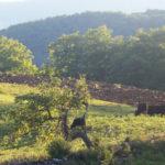 Cloudland Farm cows